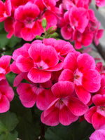 Geranium Mounding Pretty Little Pink Splash