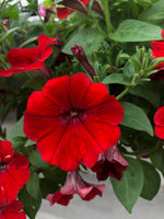 Petunias Dekko Red