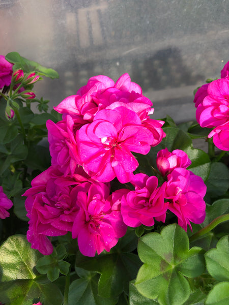 Geranium Ivy Great Balls of Fire Blue