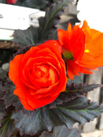 Begonia Mocca Bright Orange