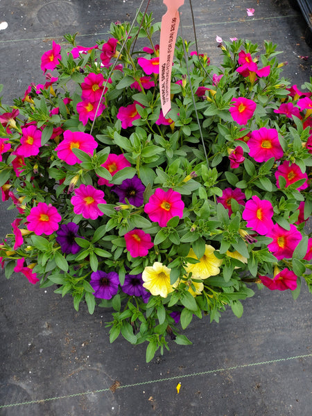 Petunias SuperCal Spring Mix