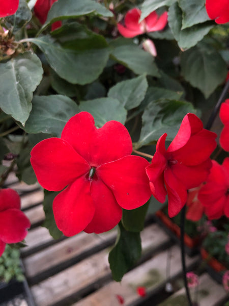 Seed Impatiens Red