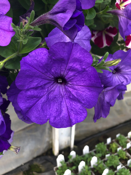 Petunias Colourblitz Blue Ocean