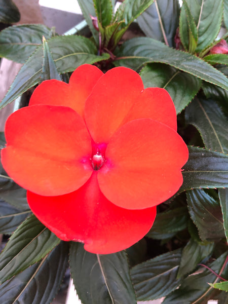 New Guinea Impatiens Clockwork Orange