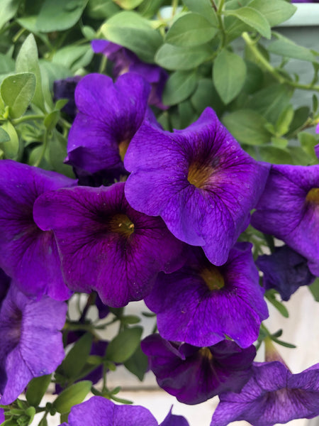 Petunias Supercal Blue
