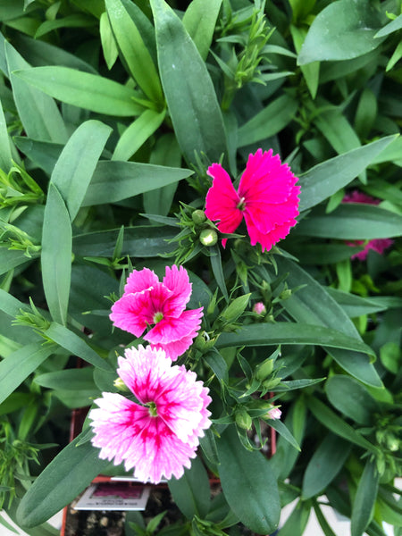 Dianthus Ideal Raspberry