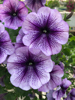 Petunias Ray Purple Vein