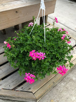 Geranium Ivy Mini Cascade Rose