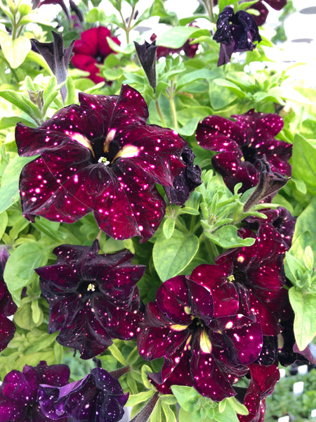 Petunias Headliner Starry Sky Burgundy