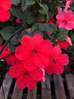 Seed Impatiens Salmon