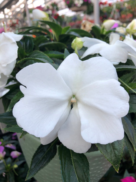 New Guinea Impatiens Clockwork White