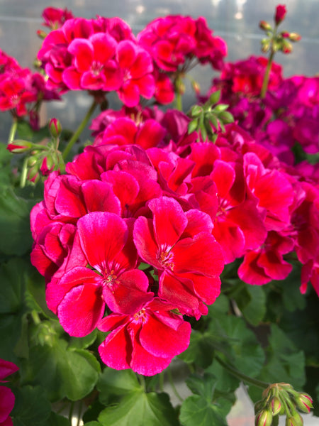 Geranium Mounding Calliope Crimson Flame Medium