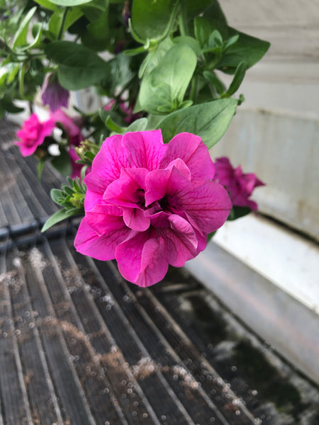 Petunias Double Wave Rose