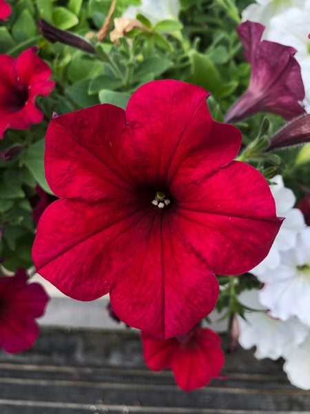 Petunias Easy Wave Velour Red