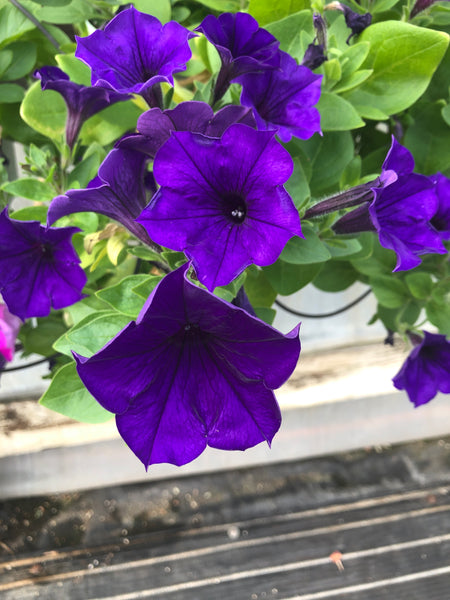 Petunias Wave Blue