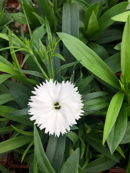 Dianthus Ideal White