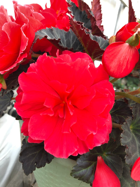 Begonia Mocca Cherry