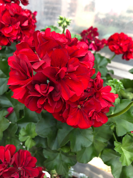 Geranium Ivy Great Balls of Fire Velvet Red
