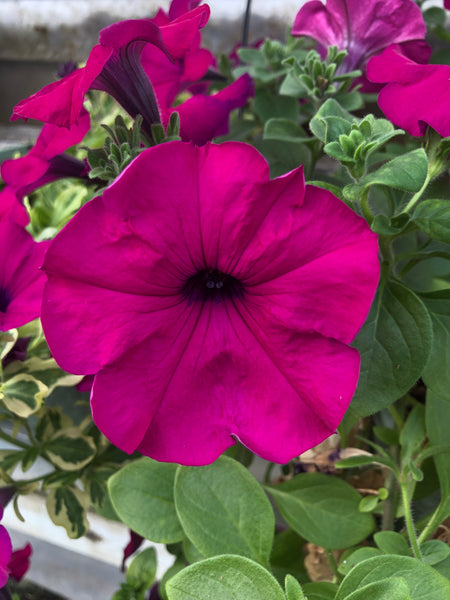 Petunias Wave Purple Improved