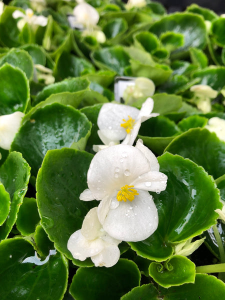 Fibrous Begonias Green Leaf White