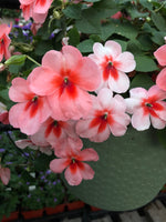 Seed Impatiens Salmon Splash
