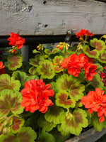 Geraniums Exotic Occold Shield