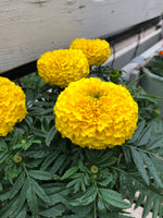 Marigold Moonstruck Yellow