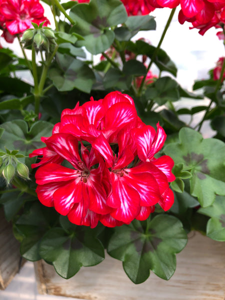 Geranium Ivy Great Balls of Fire Stars and Stripes