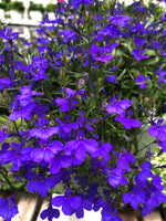 Lobelia Riviera Midnight Blue