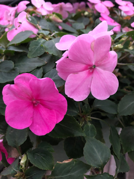 Seed Impatiens Pink