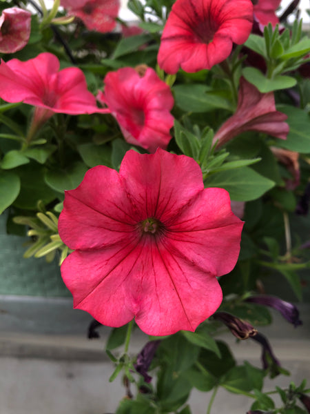 Petunias Colour Rush Watermelon Red