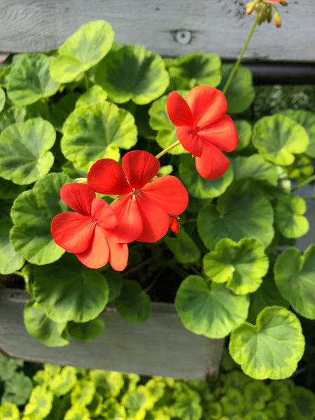 Geraniums Exotic Crystal Palace