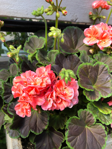 Geraniums Exotic Salmon Night