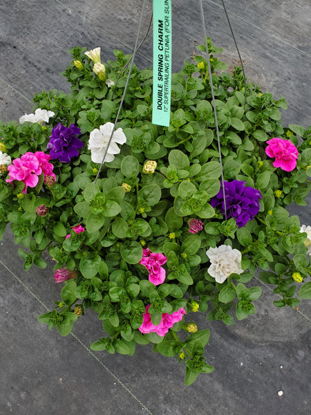 Petunias Double Spring Charm Mix