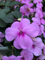 Seed Impatiens Blue Pearl