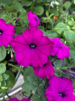 Petunias Easy Wave Violet