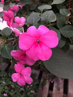 Seed Impatiens Rose