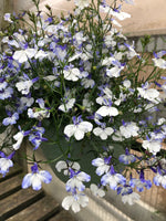 Lobelia Regatta Blue Splash