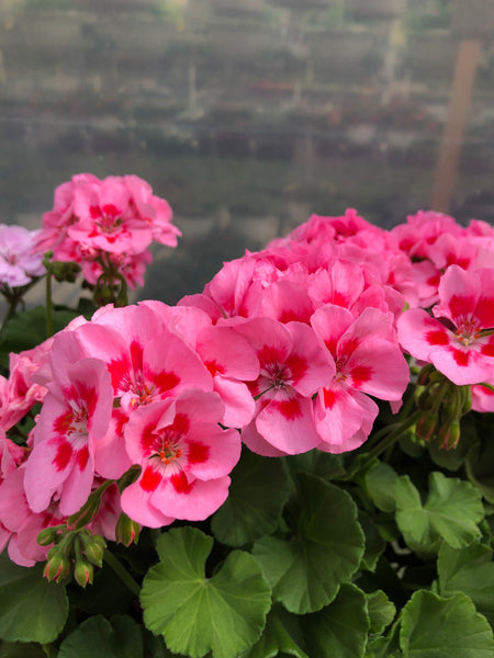 Geranium Mounding Calliope Pink Flame Medium