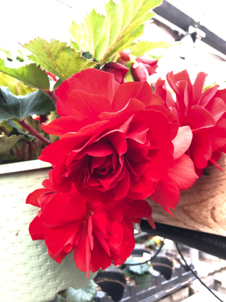 Begonia Non-Stop Deep Red