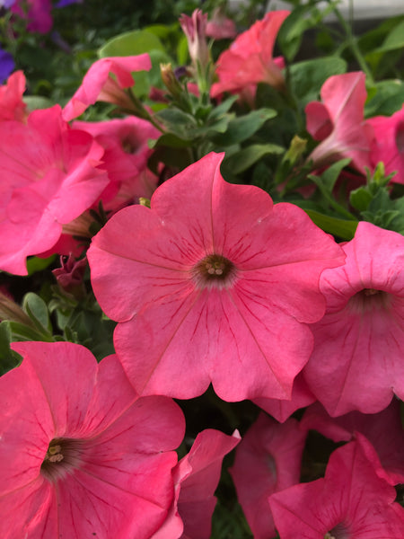 Petunias Easy Wave Coral Reef