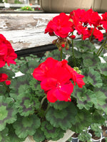 Geranium Zonal Savannah Hot Rod Red