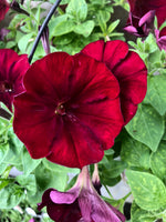 Petunias Big Deal Choco Cherries