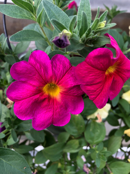 Petunias Supercal Neon Rose