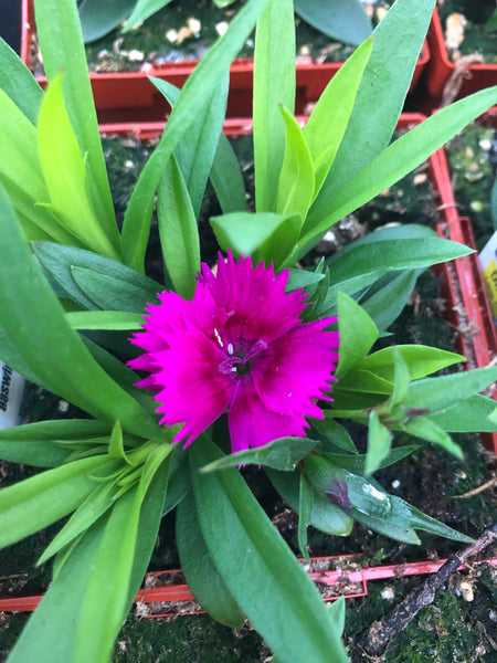 Dianthus Ideal Violet