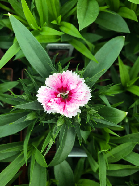 Dianthus Ideal White Fire