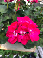Geranium Mounding Calliope Hot Rose Medium