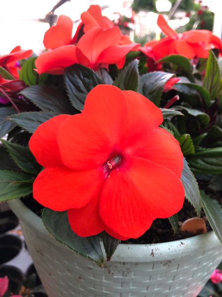 New Guinea Impatiens Impower Orange