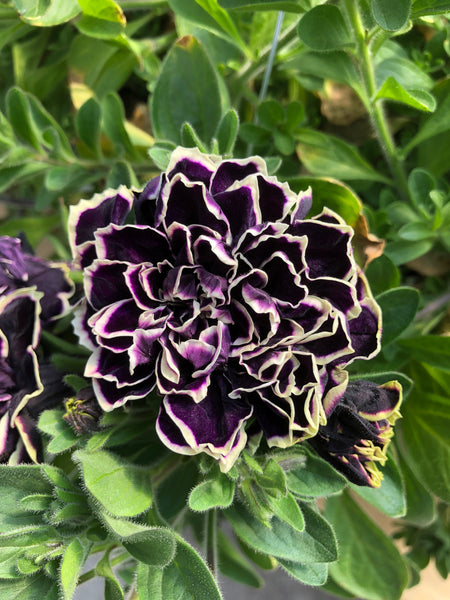 Petunias Midnight Gold