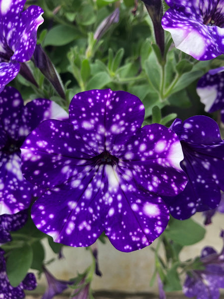 Petunias Headliner Night Sky